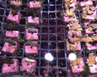 植え付けを待つ珊瑚
